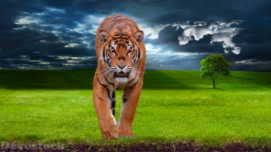 Devostock Tiger Predator Animal Wildlife 4K