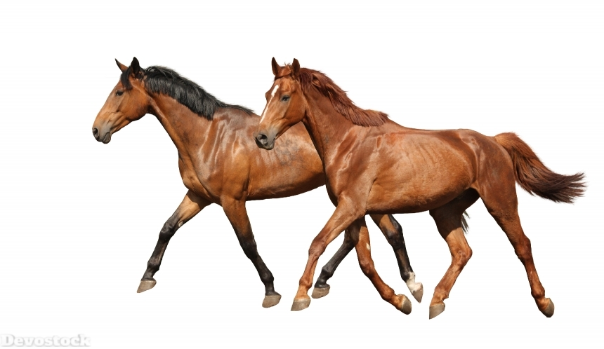 Devostock Two beautiful horses running isolated on white