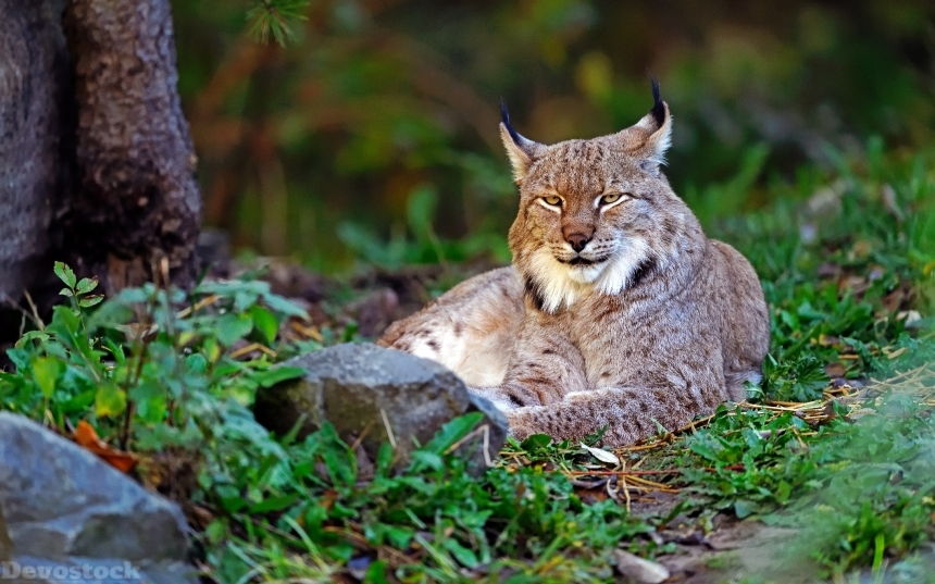 Devostock Whild Cat Nature Outdoor Lynx Glance Animal 4k