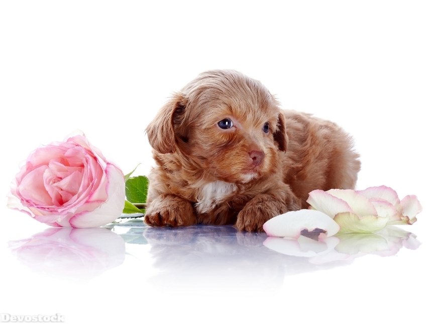 Devostock Puppy with a rose