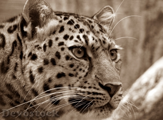 Devostock amur-leopard-sepia-close-53449.jpeg