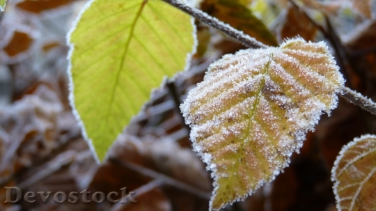 Devostock Autumn frosty leaves photo stock  (1)