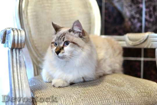 Devostock Beautiful Persian Cat