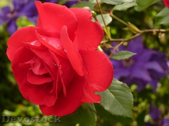 Devostock Beautiful red rose  (13)