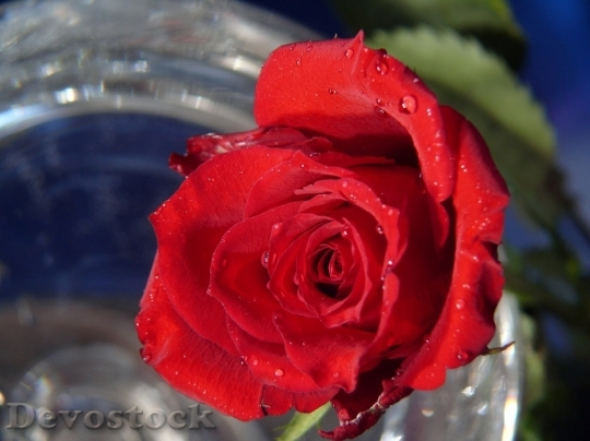 Devostock Beautiful red rose  (207)