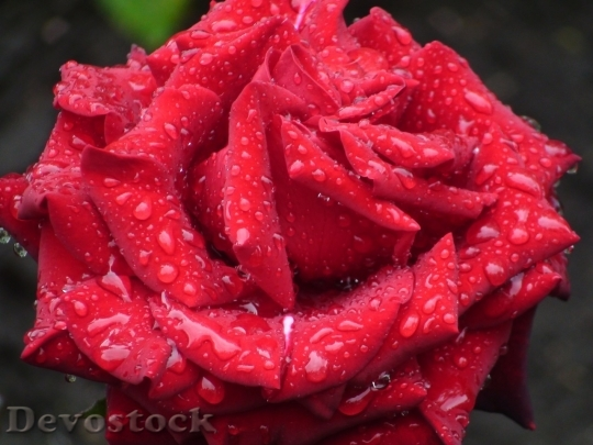 Devostock Beautiful red rose  (430)