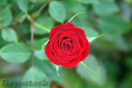 Devostock Beautiful red rose  (79)