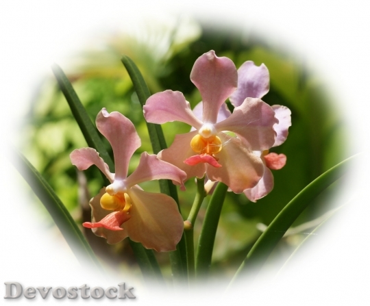 Devostock beautifulorchids-dsc00051-g