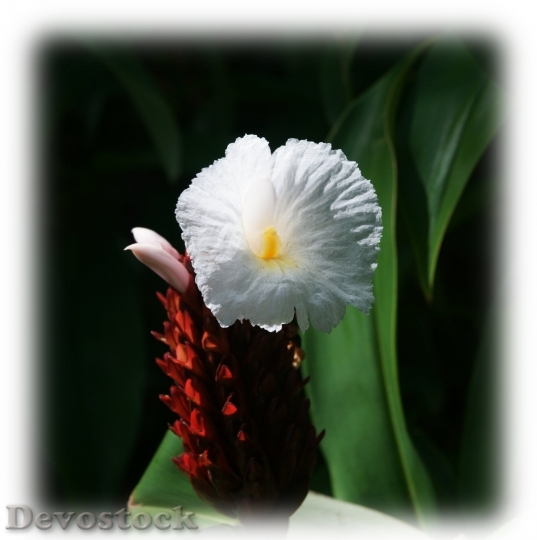 Devostock beautiful-white-tropical-flower-dsc03858-g