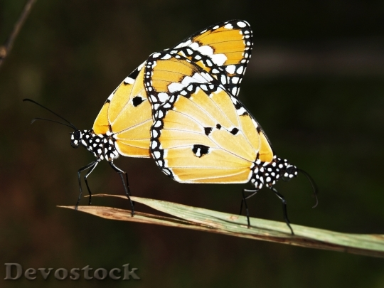 Devostock Butterfly Stock Photos