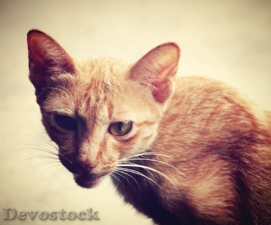 Devostock Cat Stock Photos,