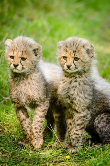 Devostock cheetahs-cubs-two-together-162318.jpeg