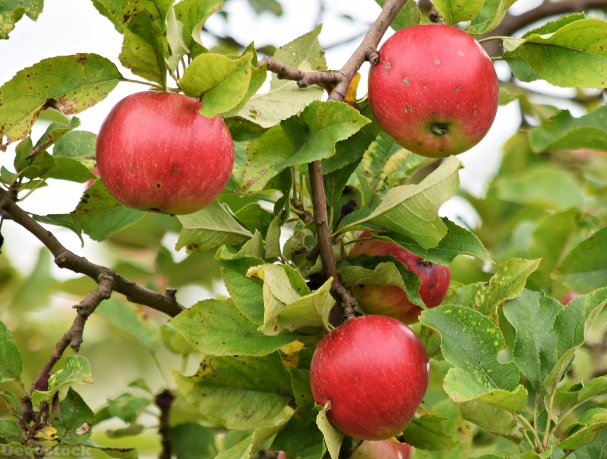 Devostock Apple Apples Fruit Tree