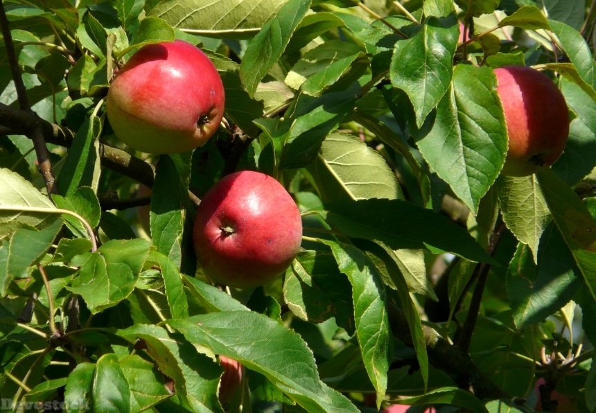 Devostock Apple Fruit Apple Tree 5