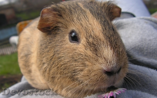 Devostock Domestic guinea pig  (3)
