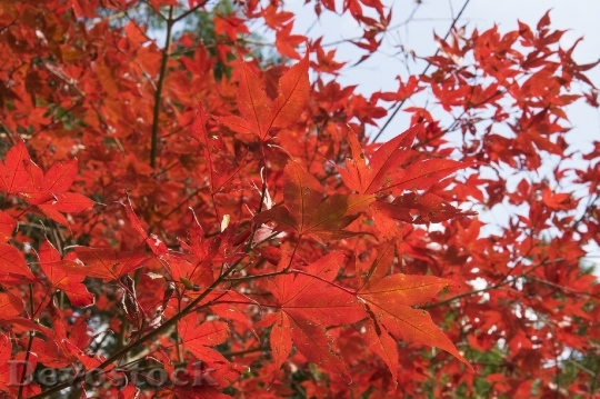 Devostock Free photographs of autumn leaves from Japan  (38)
