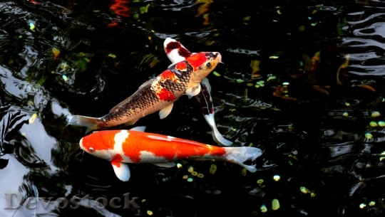Devostock Koi nishikigoi colored varieties  (10)