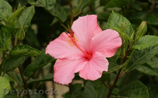 pink-hibiscus-blossom-dsc00643-a3ws