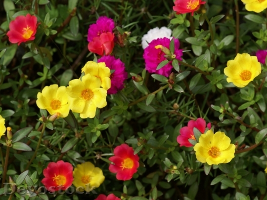portulacaflowers-dsc03410-a1