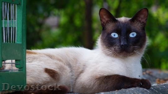 Devostock Rare cute cat with blue eyes