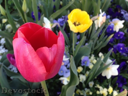 Devostock Tulip beautiful  (146)