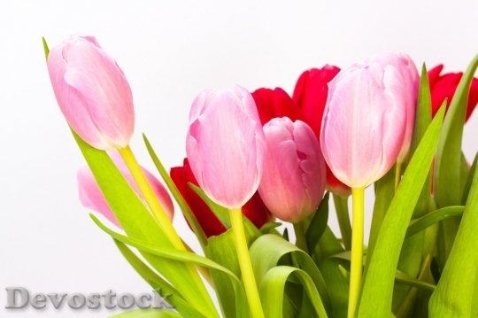 Devostock Tulip beautiful  (460)