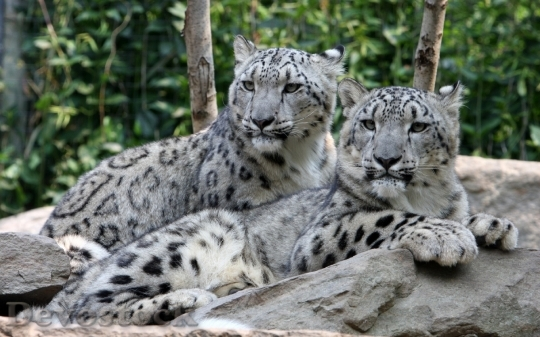 Devostock Two leopard relaxing over a stone