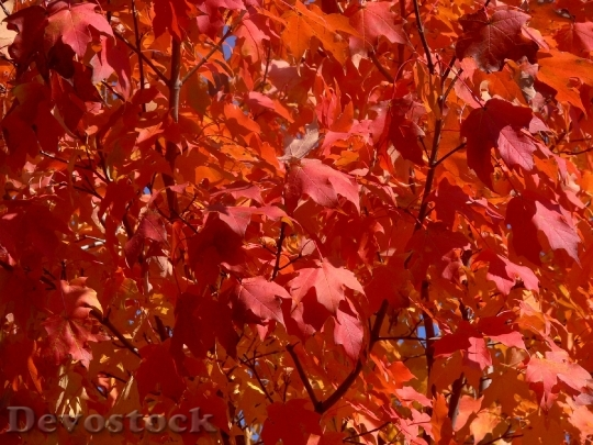 Devostock Autumn Fall Leaves Red