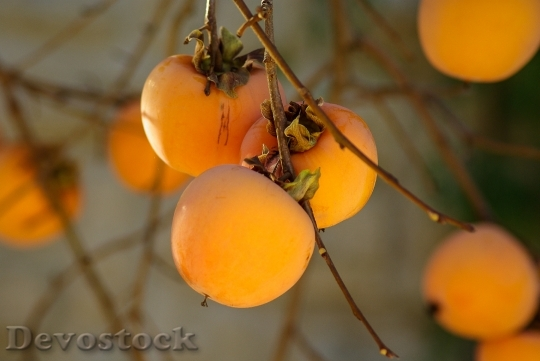 Devostock Fruit Khaki Fall Persimmon