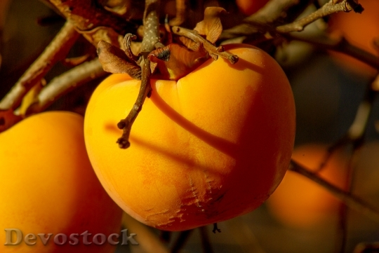 Devostock Fruit Khaki Persimmon Fall