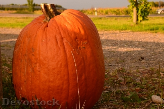 Devostock Pumpkin Large Orange Fruit