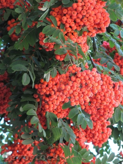 Devostock Rowan Orange Autumn September