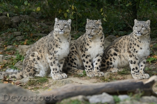 Devostock Snow Leopards Family Boy