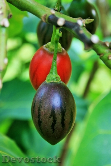 Devostock Tree Tomato Green Fruit