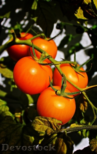 Devostock Trusses Tomatoes Panicle Autumn