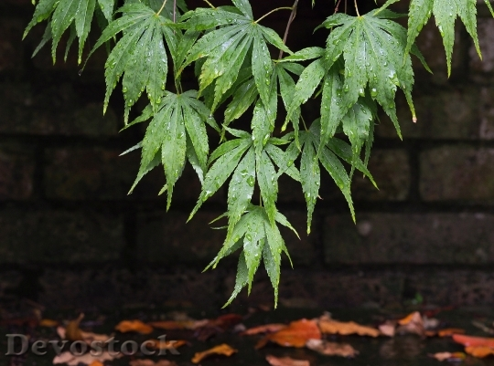 Devostock Acer Maple Leaves Leaf