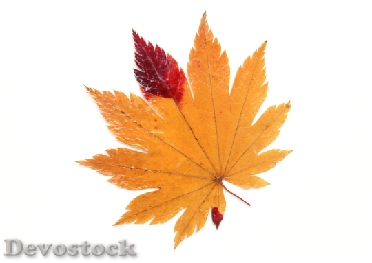 Devostock Autumn Maple Leaves 0