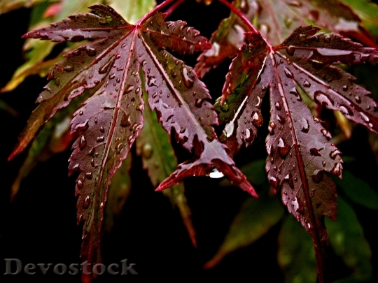 Devostock Foliage Japanese Maple Water