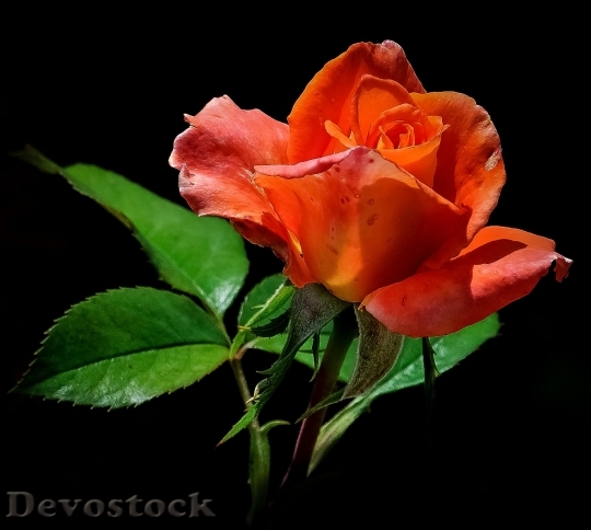 Devostock Rose Orange Red Flower 5397 4K.jpeg