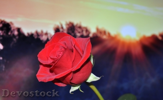 Devostock Rose Red Flower 3743 4K.jpeg