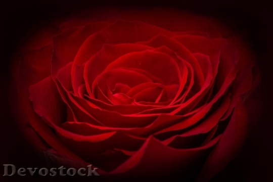 Devostock Rose Red Rose Red Flower 6057 4K.jpeg