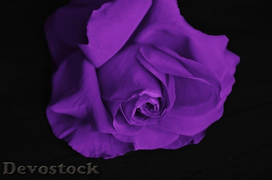 Devostock Roses Flower Love Plant 5918 4K.jpeg