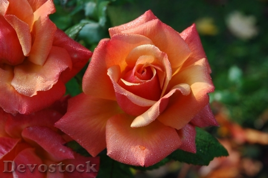 Devostock Roses Flowers Pink Orange 6592 4K.jpeg