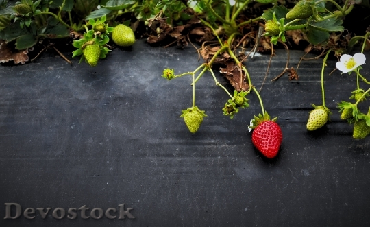 Devostock Strawberries Fruit Growth Organic