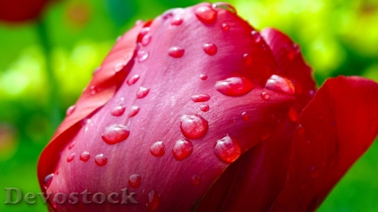 Devostock Tulip After The Rain Raindrops Flower 5641 4K.jpeg